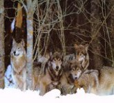 There are five recognized subspecies of the gray wolf in north